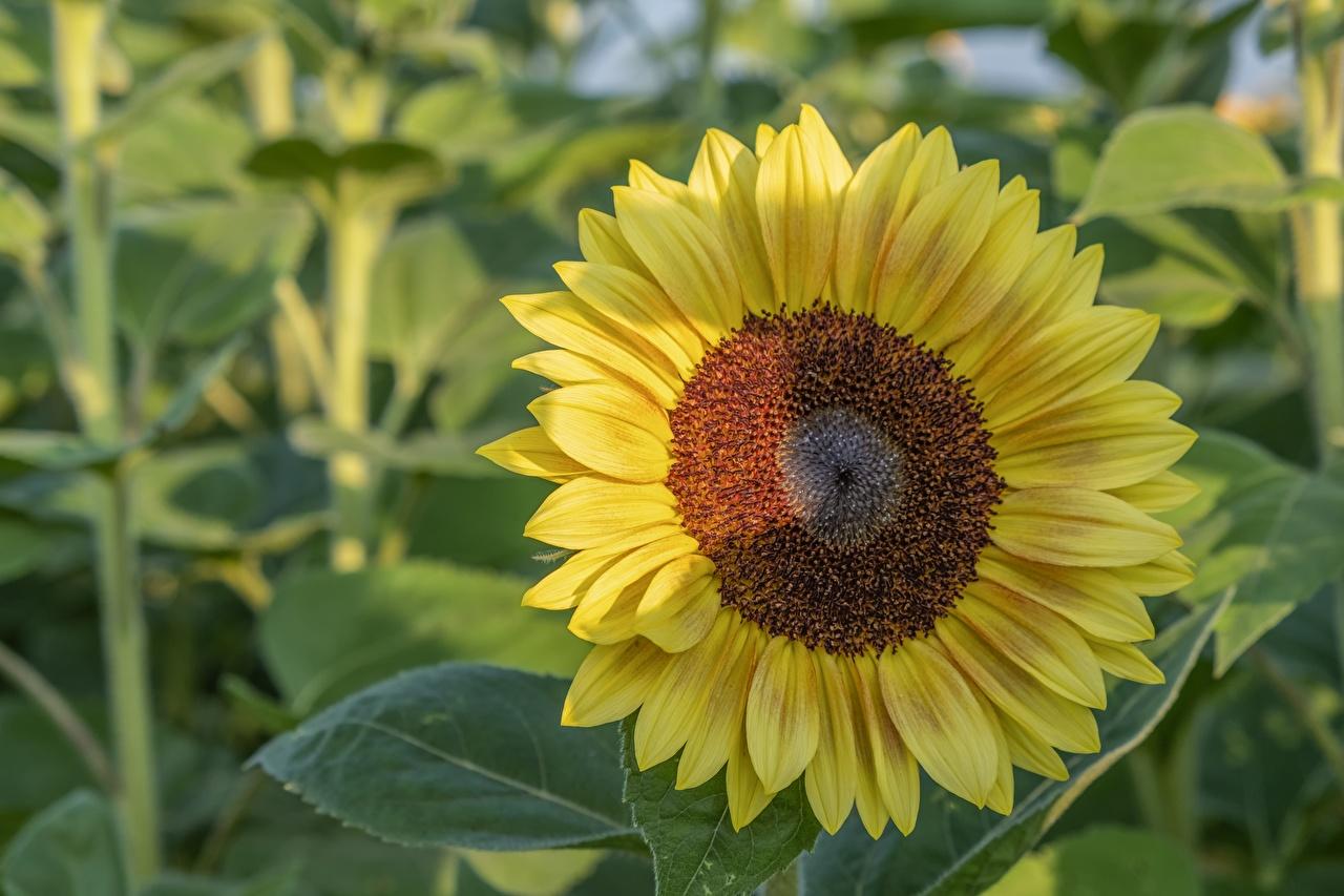 Картинка желтые цветок Подсолнухи Крупным планом желтая Желтый желтых Цветы Подсолнечник вблизи