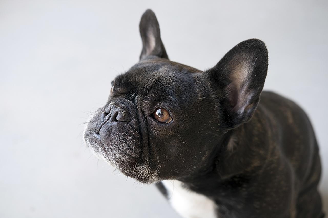 Фото Бульдог собака серые черные Морда смотрит Животные бульдога Собаки серая Серый черная Черный черных морды Взгляд смотрят животное