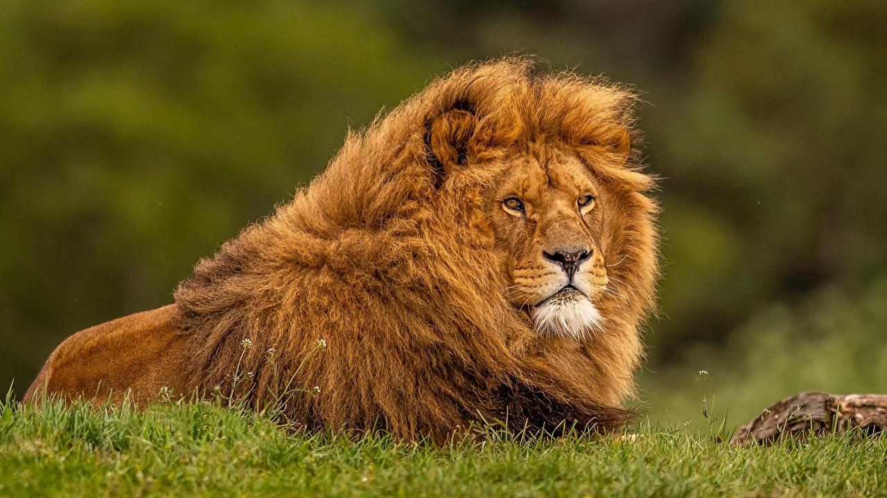 Фото лев траве животное Львы Трава Животные