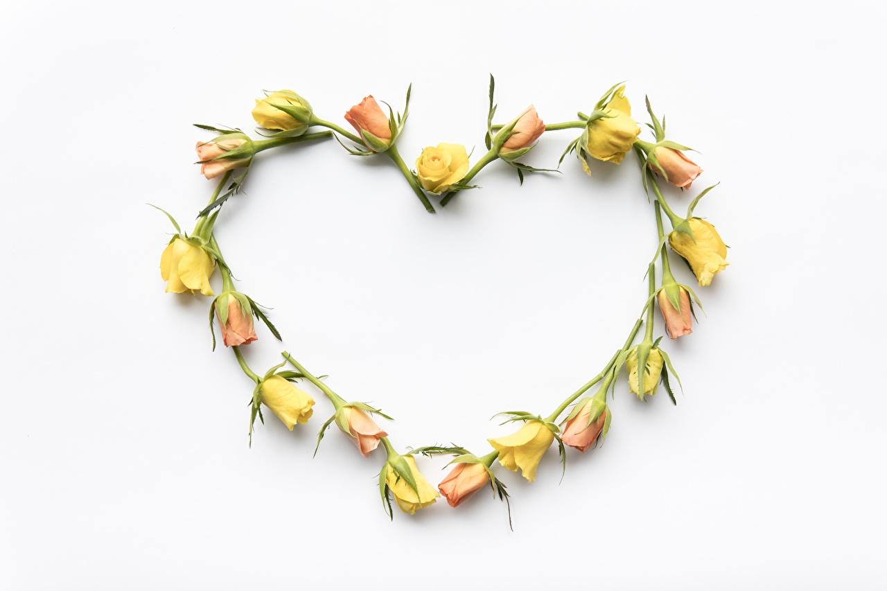 Фотография Сердце роза Цветы Шаблон поздравительной открытки белым фоном серце сердца сердечко Розы цветок Белый фон белом фоне