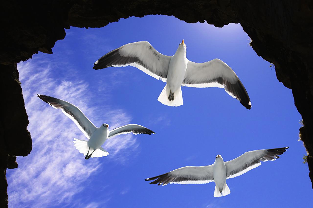 Картинка Чайка птица летят Трое 3 Животные чайки Птицы три Полет летит втроем летящий животное