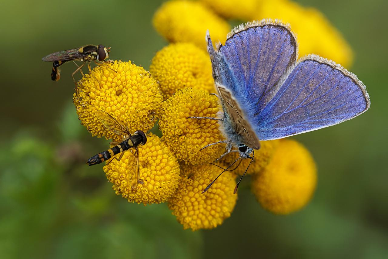 Обои для рабочего стола Мухи Бабочки Насекомые syrphids, common blue Животные бабочка насекомое животное
