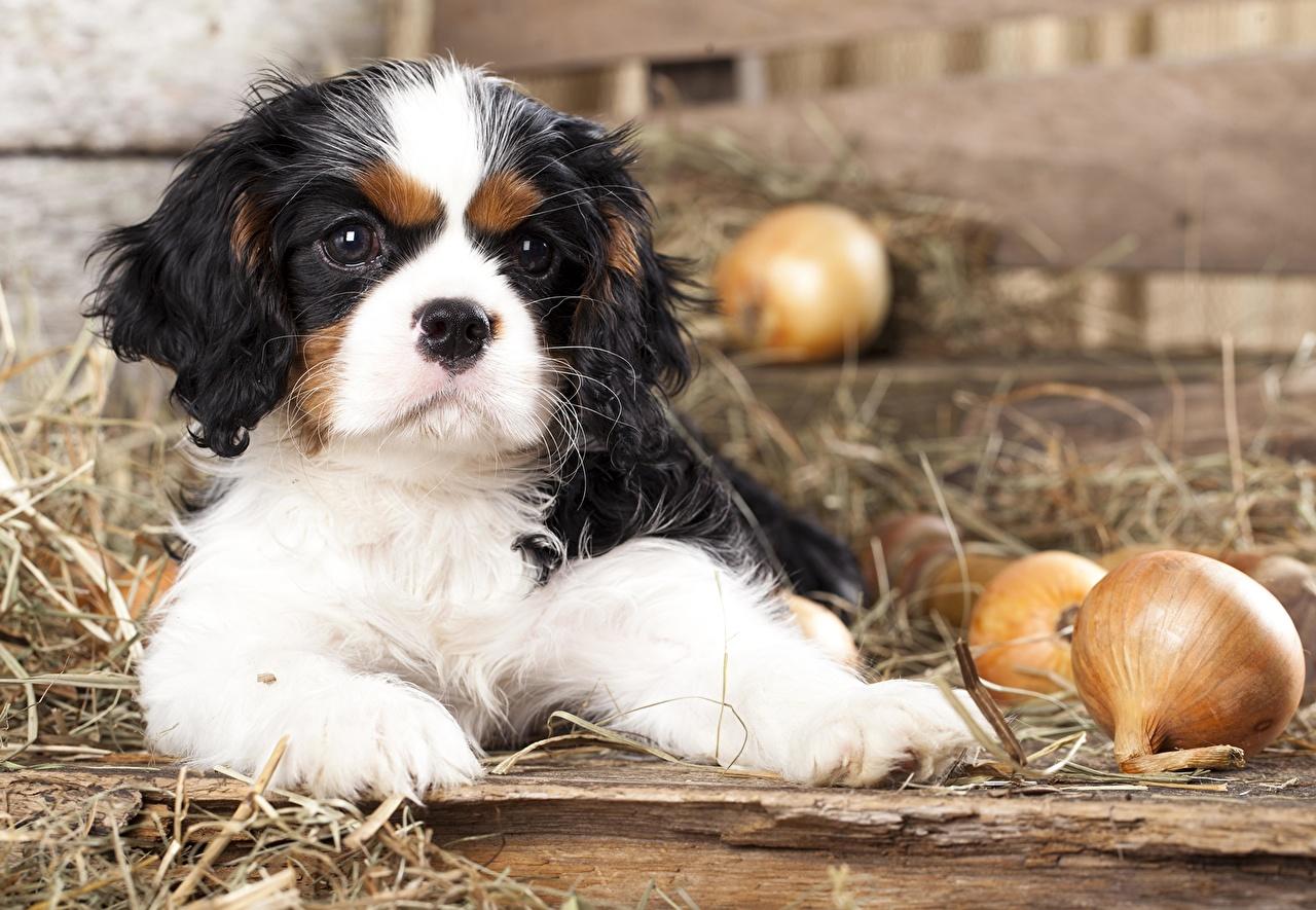 Картинка щенка Спаниель Кинг чарльз спаниель собака Cavalier Лук репчатый Животные щенки Щенок щенков спаниеля Собаки животное