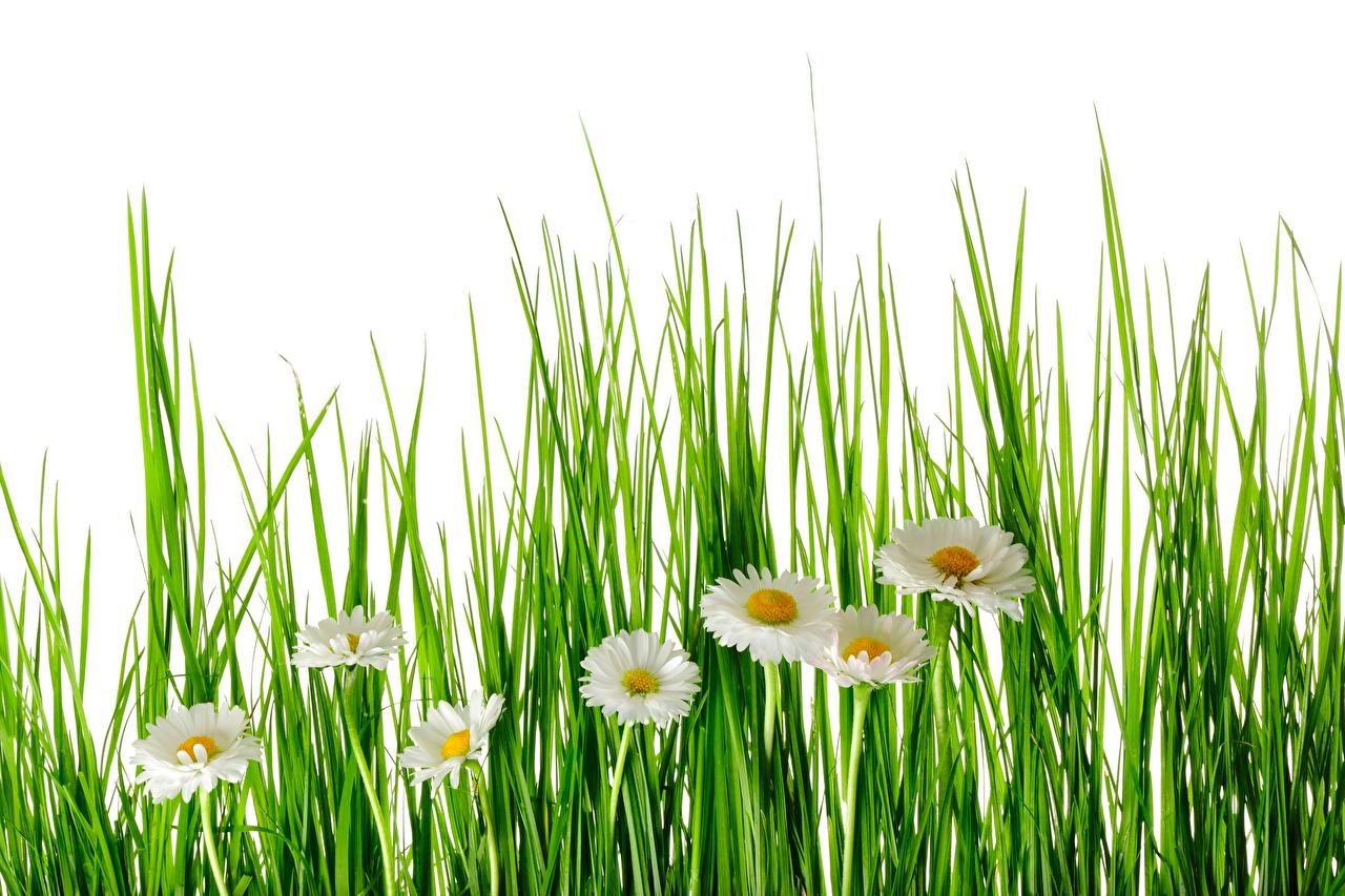 Обои цветок Ромашки Трава белом фоне Цветы траве Белый фон белым фоном