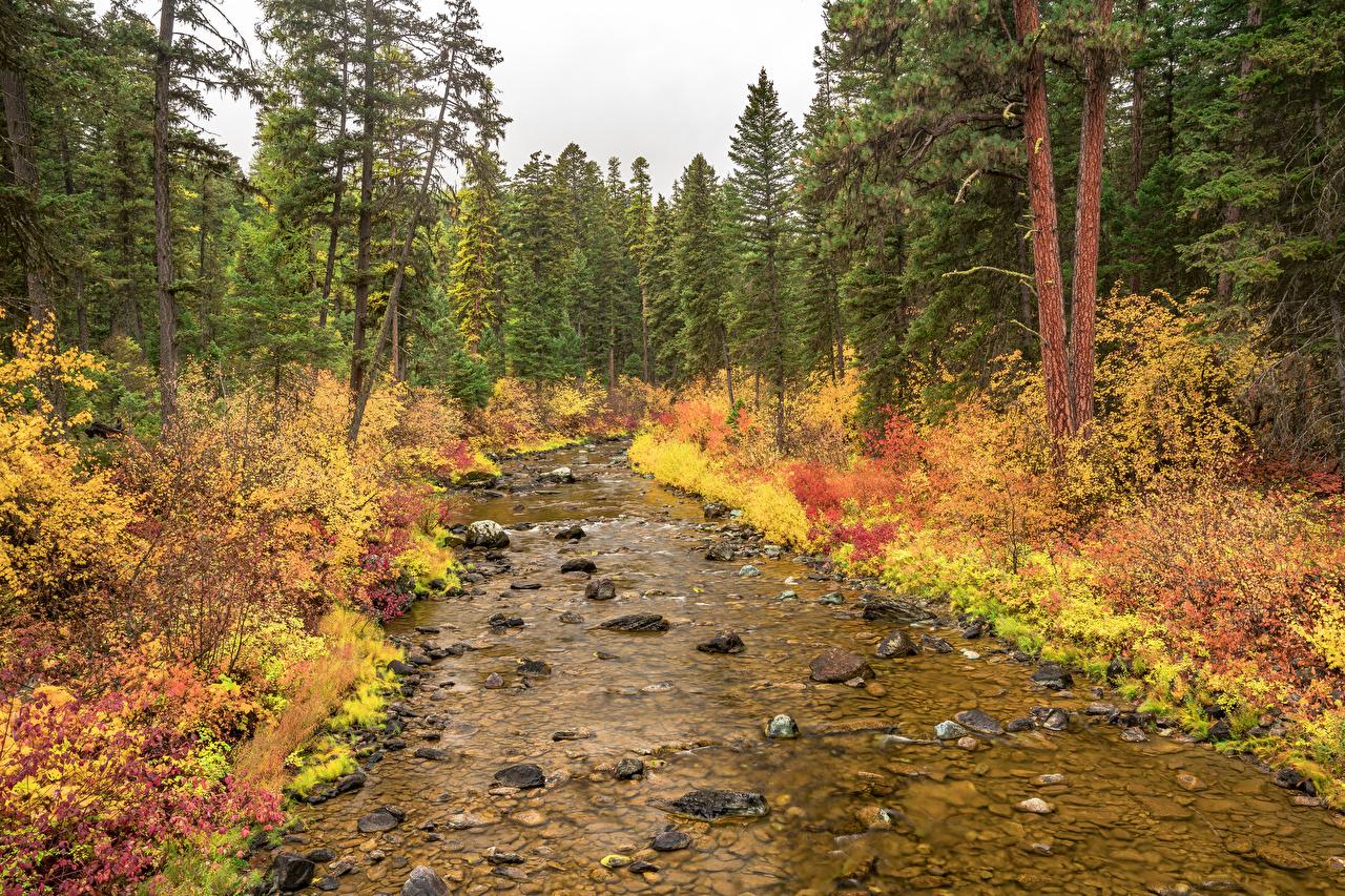 Фотография америка Flathead National Forest Ель Осень Ручей Природа лес Парки Камень США штаты ели ручеек осенние парк Леса Камни