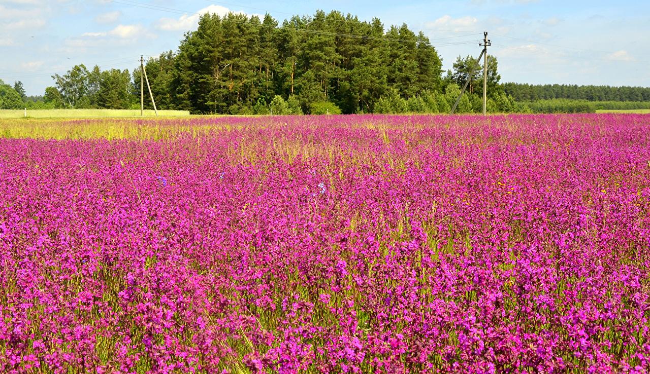 Обои для рабочего стола Лето Природа Поля цветок Лаванда Цветы