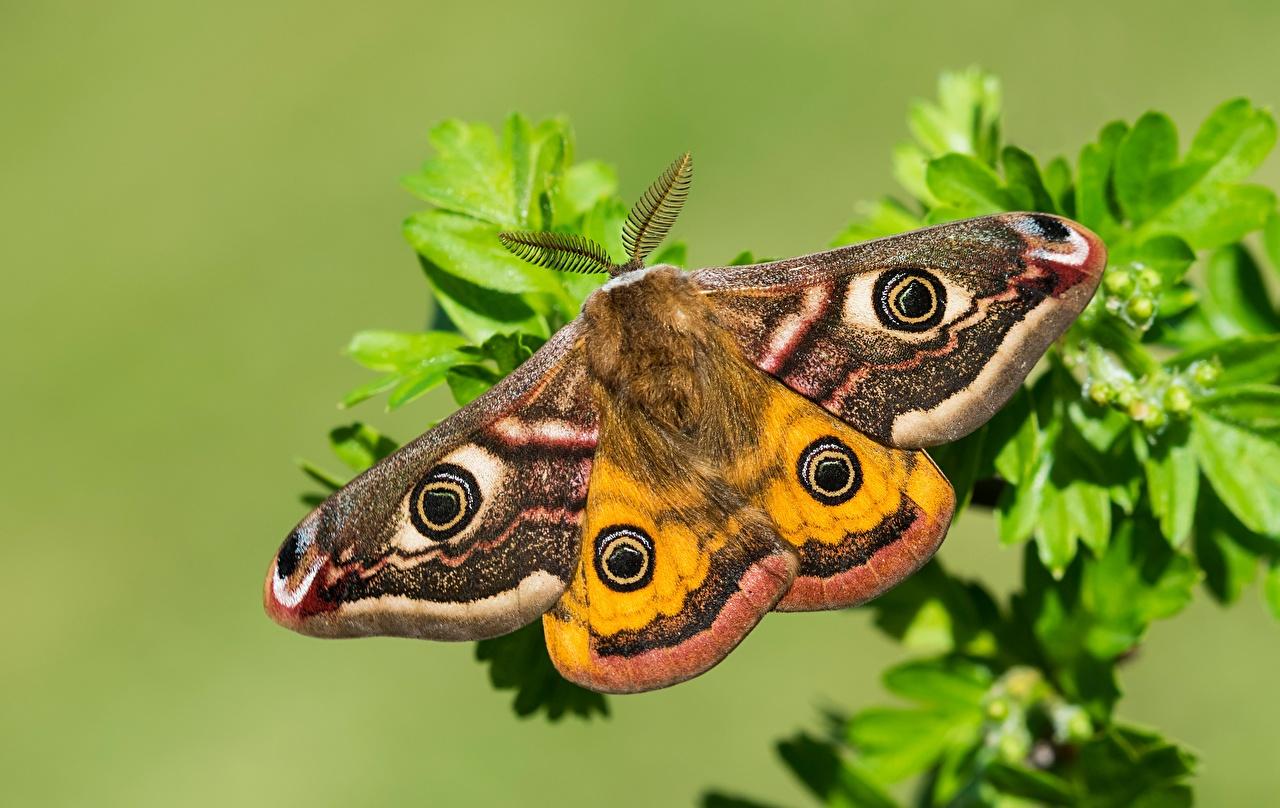 Фото Бабочки Small emperor moth вблизи Животные бабочка животное Крупным планом