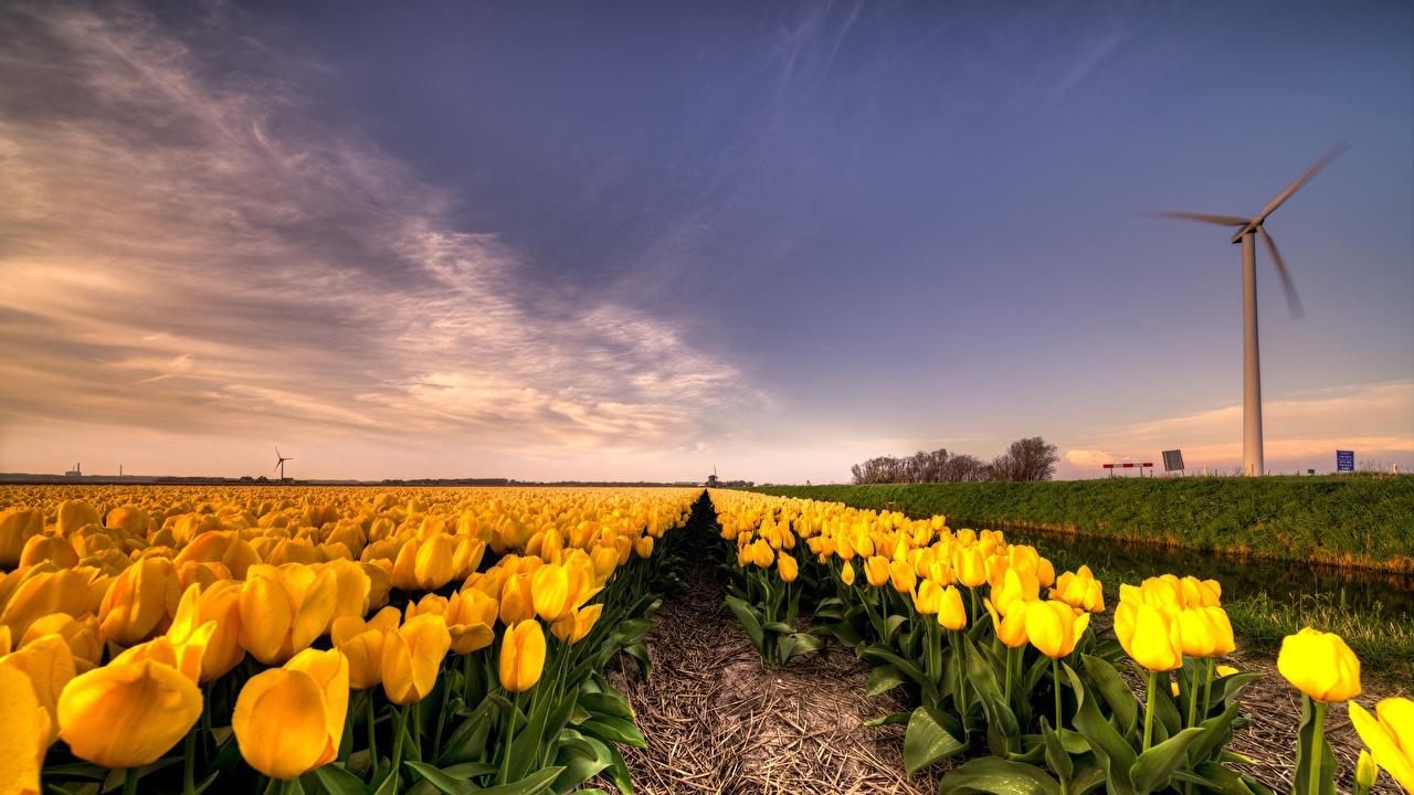 Фотографии Тюльпаны Небо Поля Цветы Нарциссы