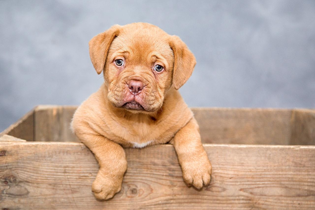 Фото щенки Бордоский дог Лапы смотрят Животные Щенок щенка щенков лап Взгляд смотрит