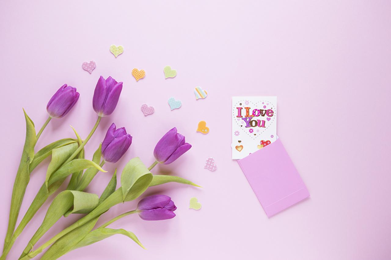 Фотография фиолетовая тюльпан Розовый фон Цветы сердца Фиолетовый фиолетовые фиолетовых Тюльпаны цветок серце Сердце сердечко