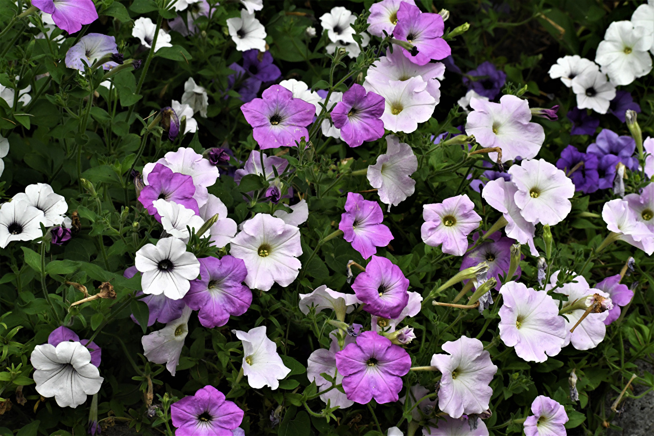 Картинка Цветы Петунья вблизи цветок Крупным планом