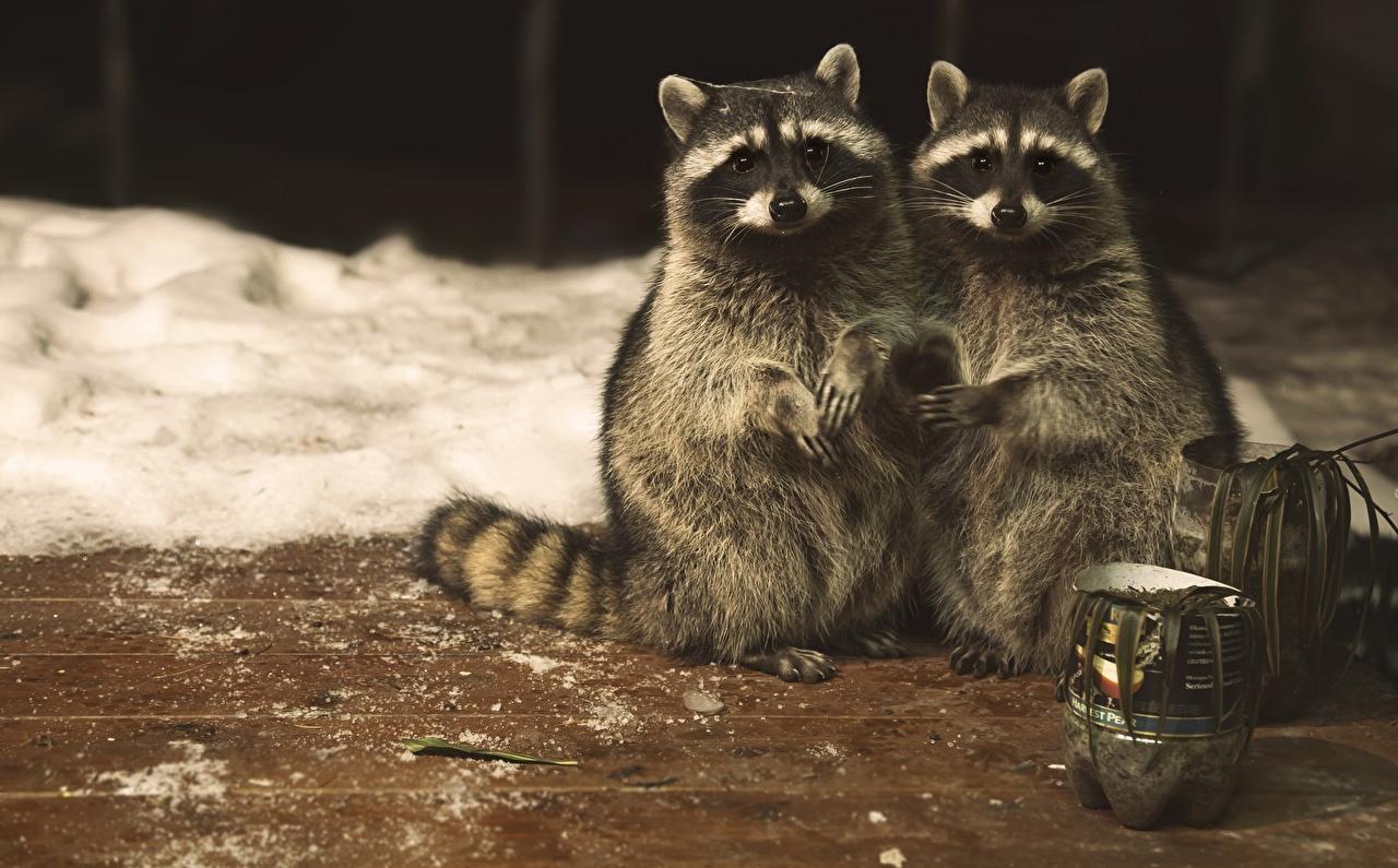 Картинка Еноты милая Двое животное Милые милый Миленькие 2 два две вдвоем Животные