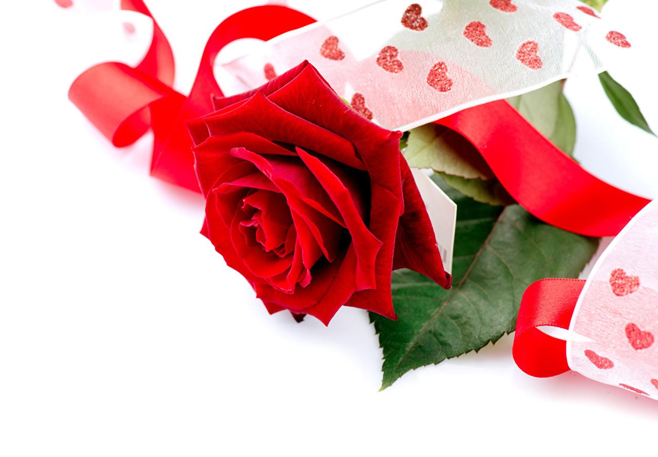 Картинки Розы Красный цветок Лента белым фоном Крупным планом роза красных красная красные Цветы ленточка вблизи Белый фон белом фоне