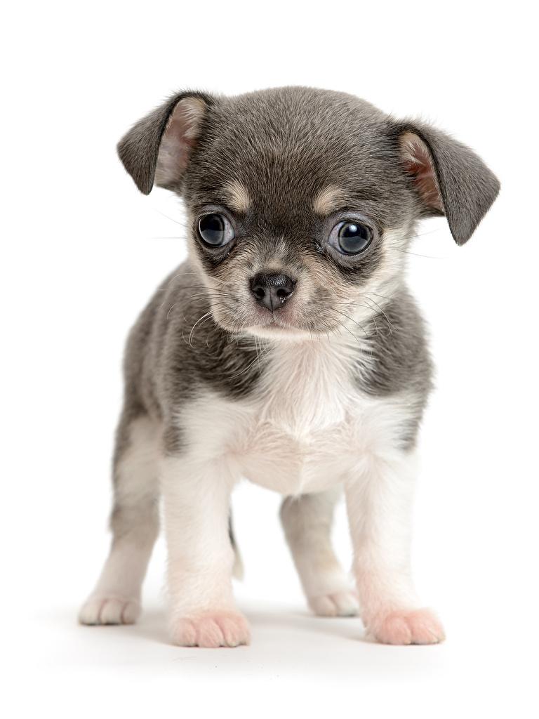 Картинка щенков Чихуахуа собака животное белом фоне  для мобильного телефона щенка Щенок щенки Собаки Животные Белый фон белым фоном