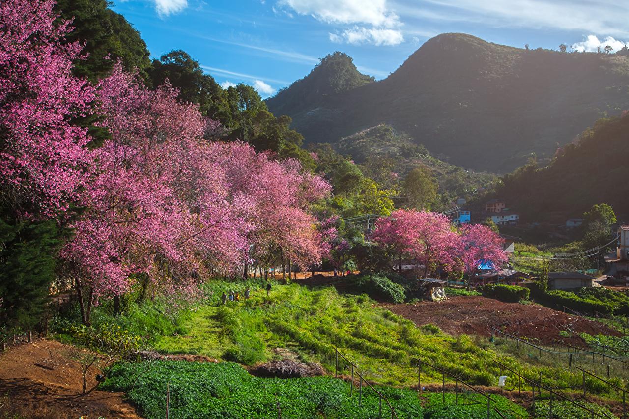 Картинка Таиланд Fang City Горы Природа весенние Поля Цветущие деревья гора Весна