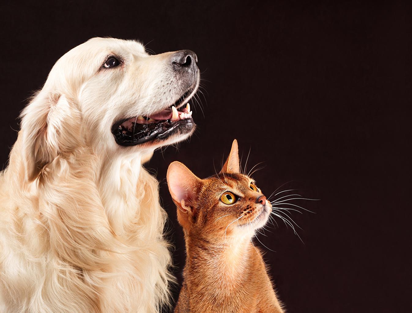 Фотографии Золотистый ретривер Кошки Собаки 2 Взгляд Животные Голден Коты Двое вдвоем смотрит