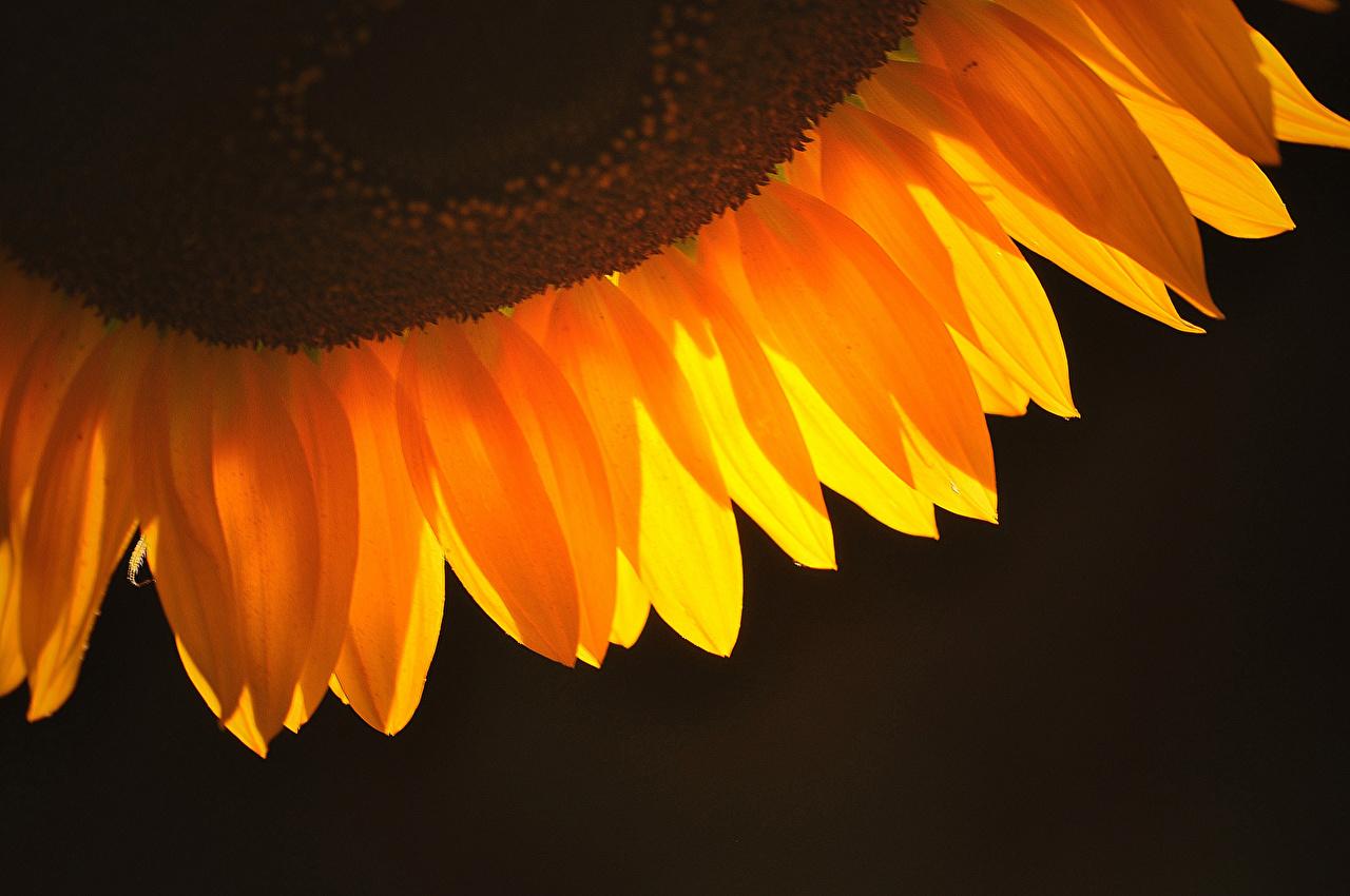 Фотография Лепестки цветок Подсолнухи вблизи лепестков Цветы Подсолнечник Крупным планом
