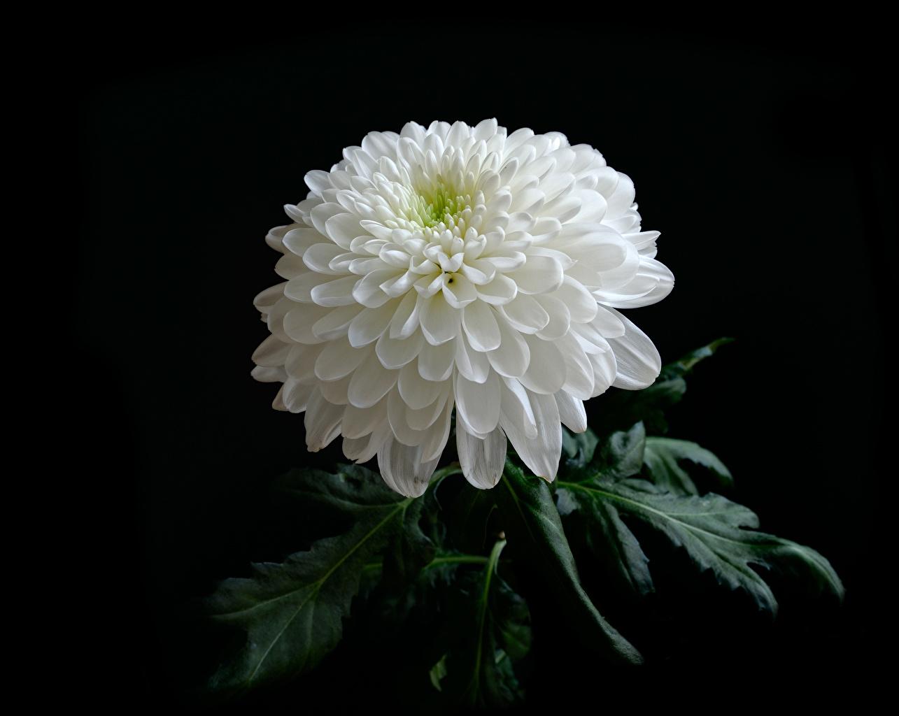 Фотография Белый Цветы Хризантемы Черный фон Крупным планом белых белые белая вблизи