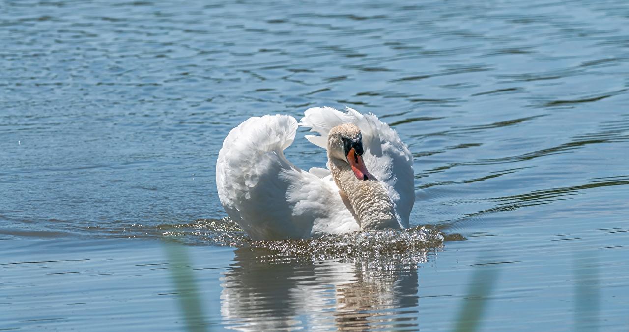 Фотография Птицы лебедь плывущий белых воде Животные птица Лебеди плывут Плывет плавает плавают плавающий белая белые Белый Вода животное