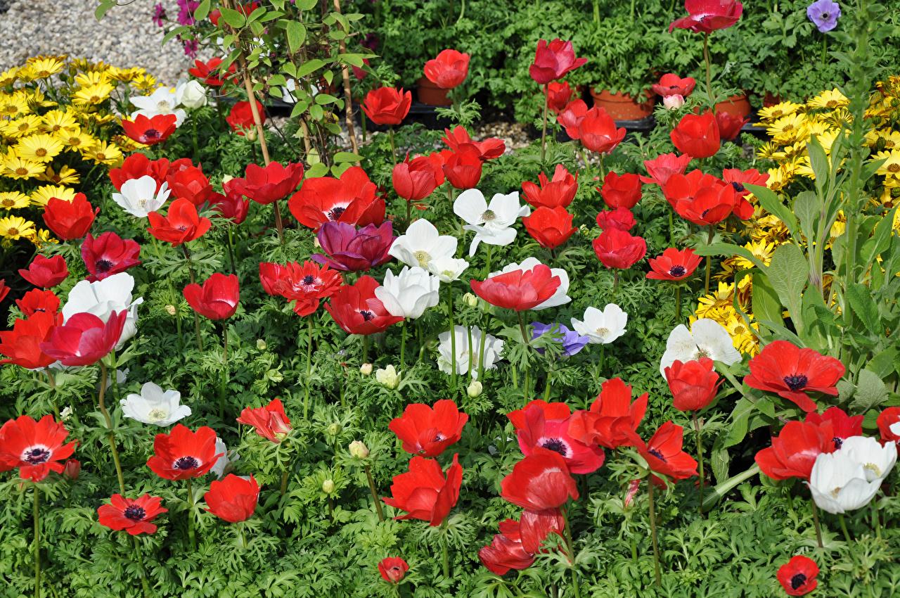 Картинка Красный Цветы Ветреница Много красных красные красная цветок Анемоны
