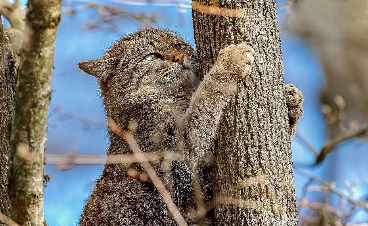 Картинка Кошки Wildcat Лапы Ствол дерева животное кот коты кошка лап Животные