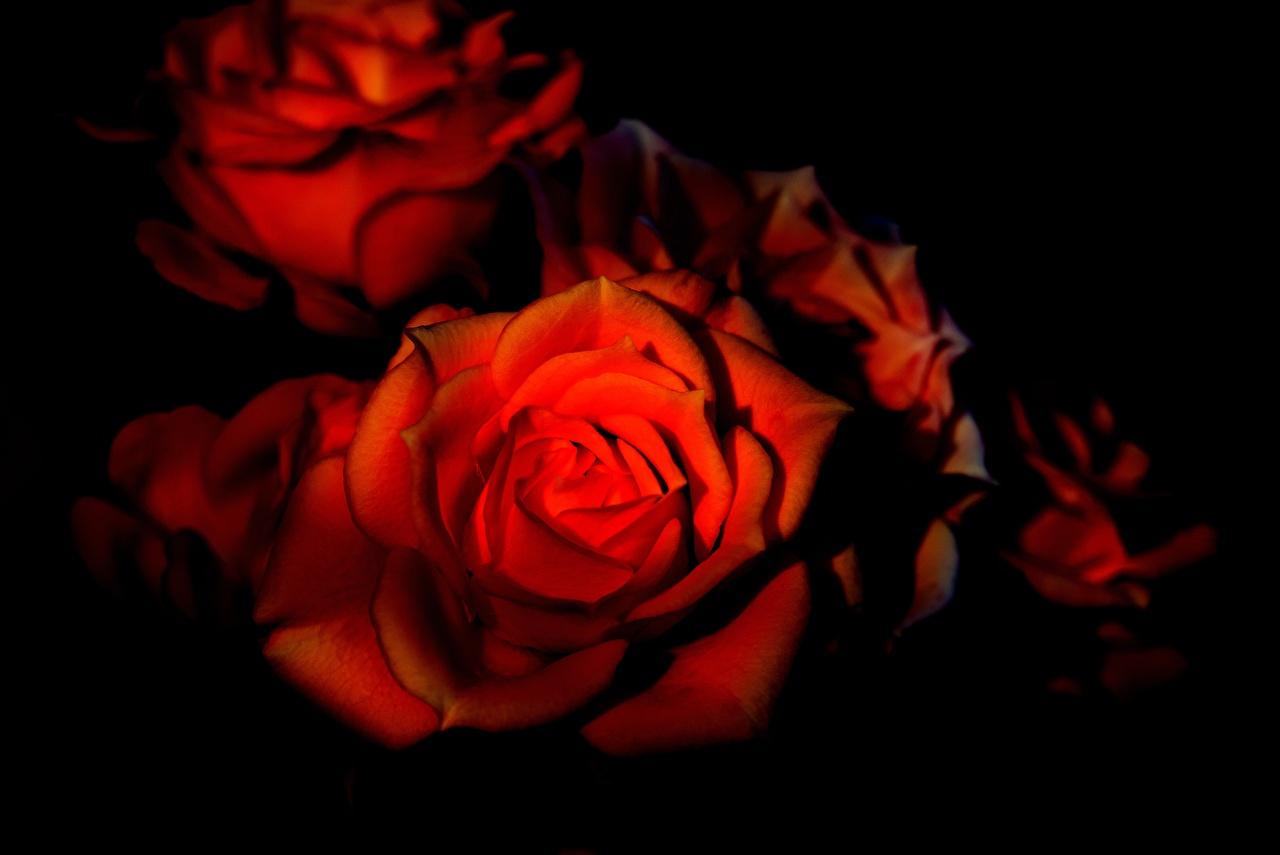 Обои Розы Красный Цветы Черный фон Крупным планом красных красные красная вблизи