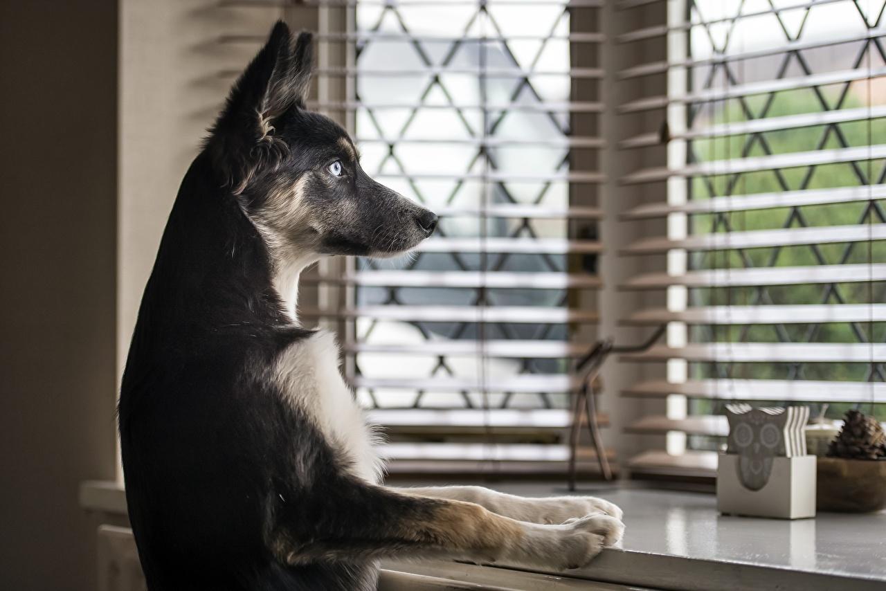 Картинка Собаки Лапы Окно смотрит Животные Взгляд