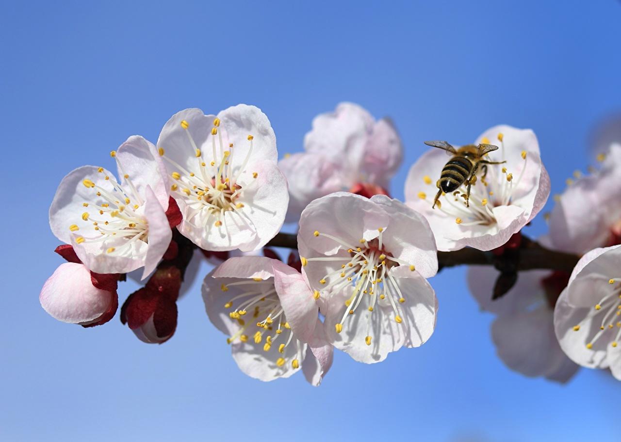 Картинки Пчелы Насекомые Абрикос весенние цветок ветка насекомое Весна Цветы ветвь Ветки на ветке
