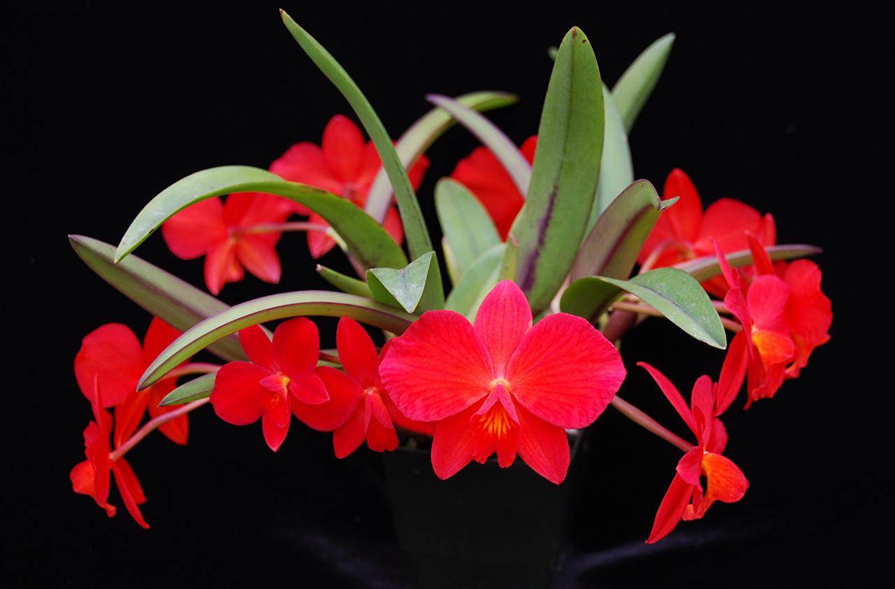 Фотографии красная Орхидеи Цветы вблизи на черном фоне красных красные Красный орхидея цветок Черный фон Крупным планом
