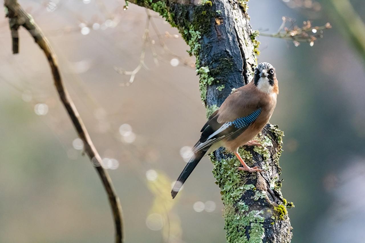 Фотографии Птицы боке мха ветвь животное птица Размытый фон Мох мхом Ветки ветка на ветке Животные