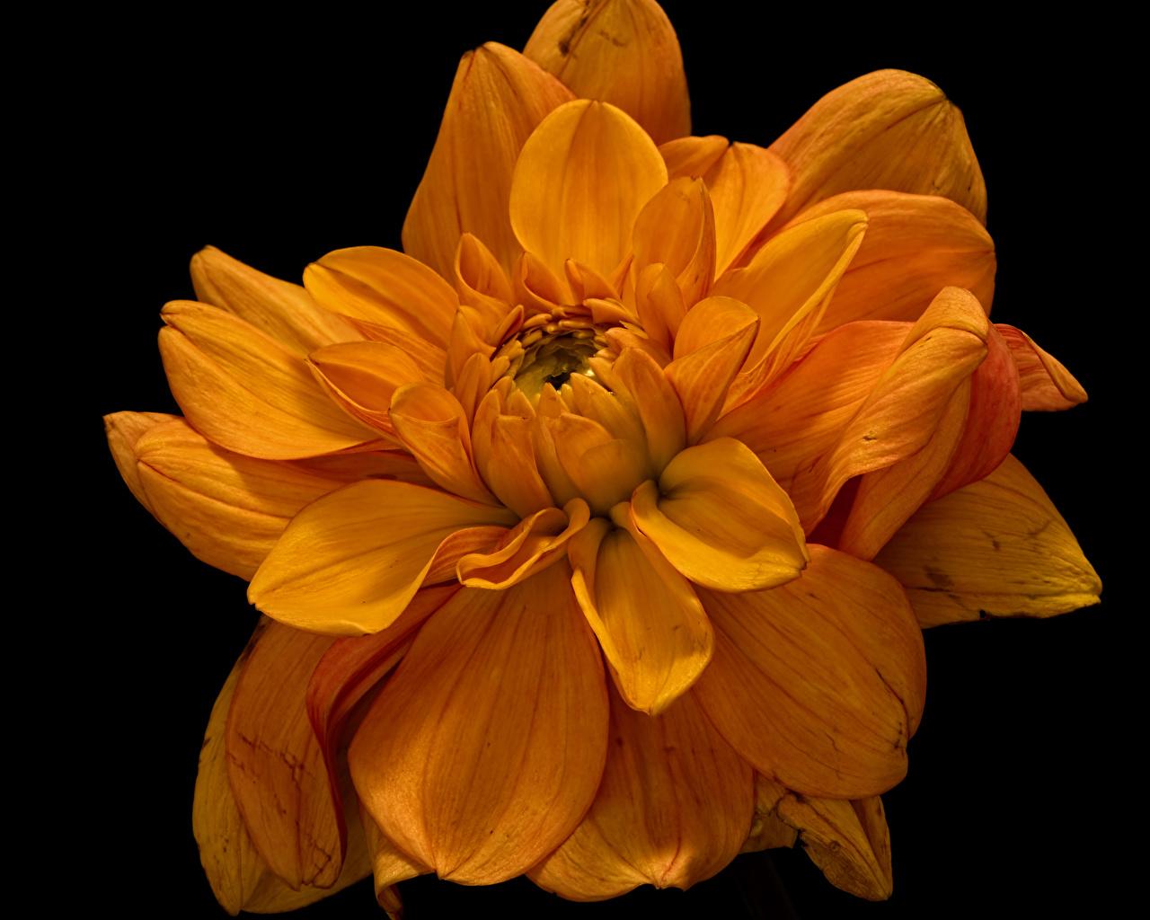 Фото оранжевые Цветы Хризантемы вблизи на черном фоне оранжевых Оранжевый оранжевая цветок Черный фон Крупным планом