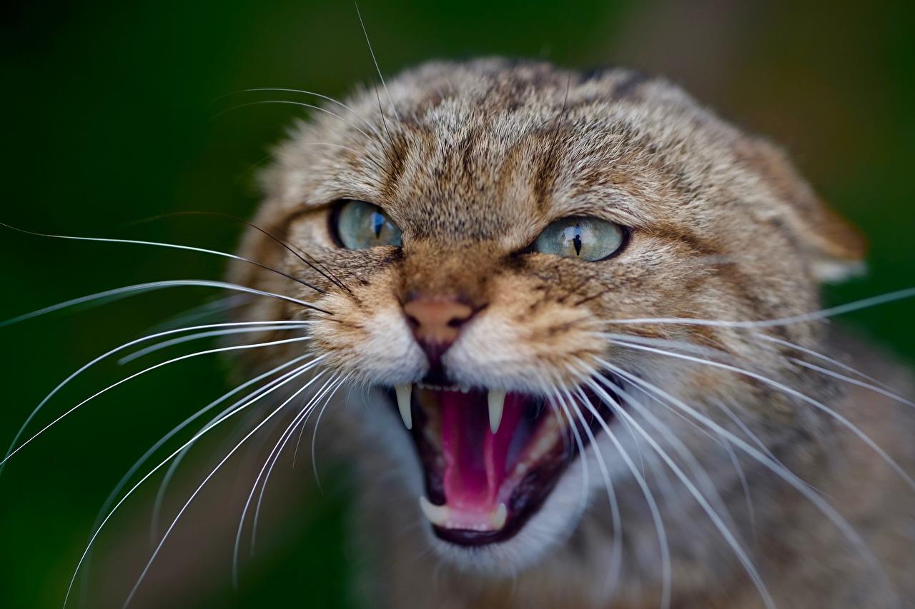 Картинки Кошки Размытый фон Оскал Усы Вибриссы Взгляд Голова животное Крупным планом кот коты кошка боке злой рычит злость вблизи головы смотрит смотрят Животные