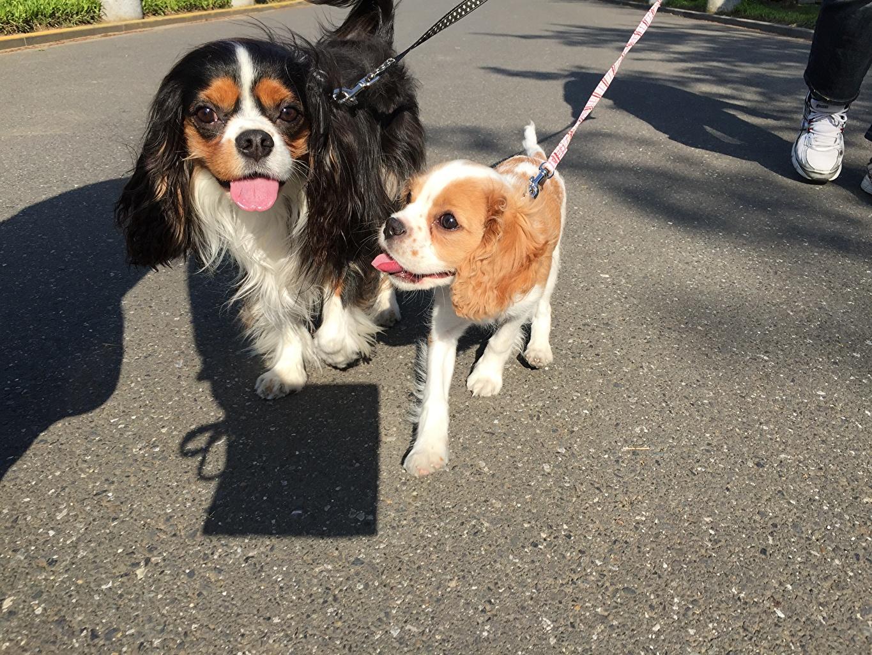 Фото щенки Кинг чарльз спаниель Собаки 2 Асфальт Животные Щенок щенка щенков собака два две Двое вдвоем асфальта животное
