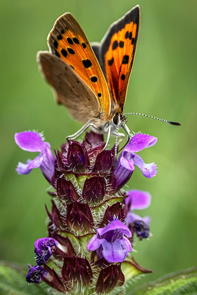 Фотография Бабочки насекомое small copper вблизи животное  для мобильного телефона бабочка Насекомые Животные Крупным планом