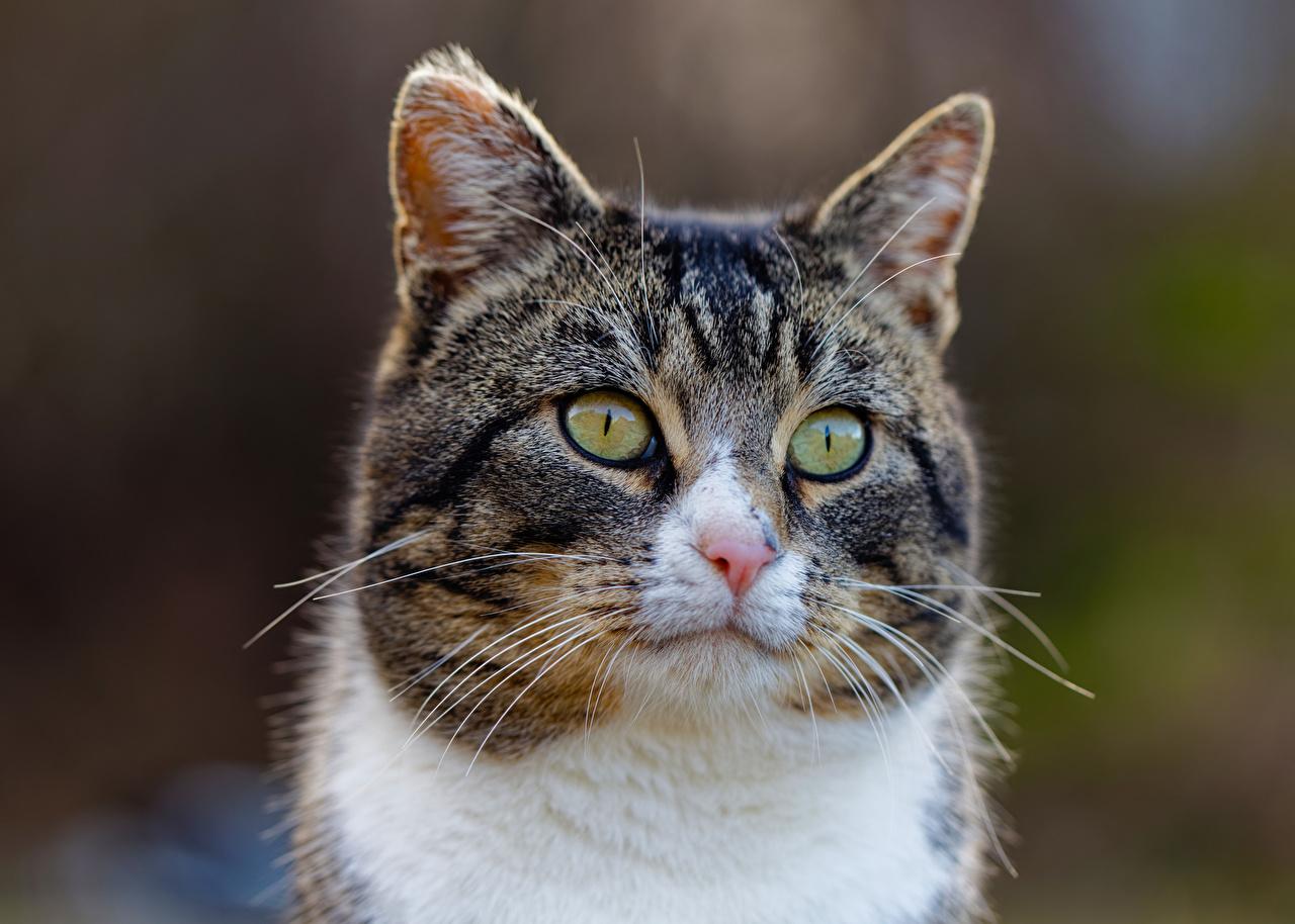 Картинка Кошки боке Усы Вибриссы Морда смотрит животное кот коты кошка Размытый фон морды Взгляд смотрят Животные