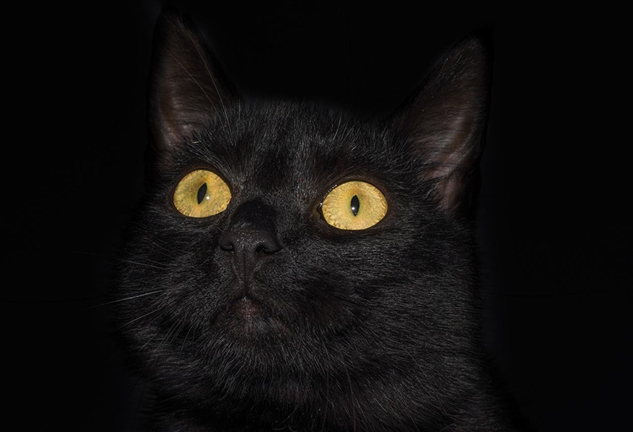 Фотография Кошки Глаза Черный Голова смотрят Животные Черный фон Крупным планом кот коты кошка черных черные черная Взгляд вблизи головы смотрит животное на черном фоне