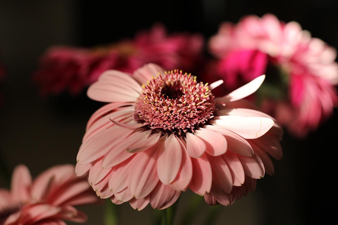 Фото боке гербера Розовый цветок вблизи Размытый фон Герберы розовая розовые розовых Цветы Крупным планом