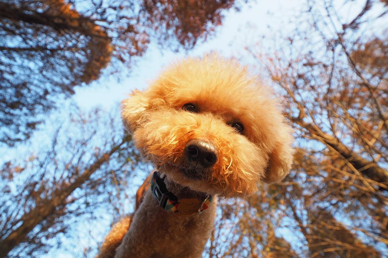 Фотография пуделя Собаки Вид снизу морды смотрит Животные пудели Пудель Морда Взгляд смотрят