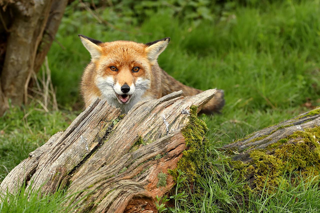 Фото Лисы боке Пень морды смотрит животное Лисица Размытый фон пне Морда Взгляд смотрят Животные