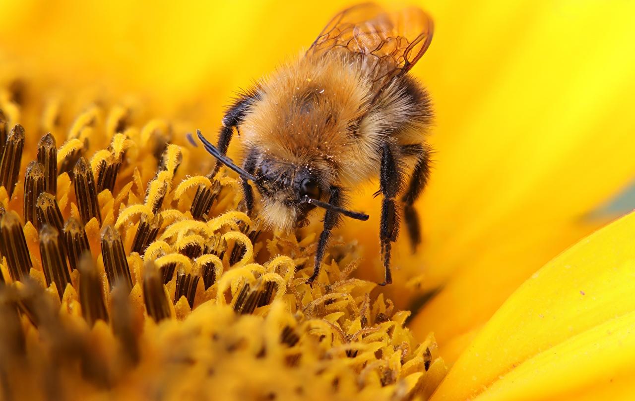 Фото Пчелы насекомое пыльцой боке Животные Крупным планом Насекомые Пыльца Размытый фон вблизи животное