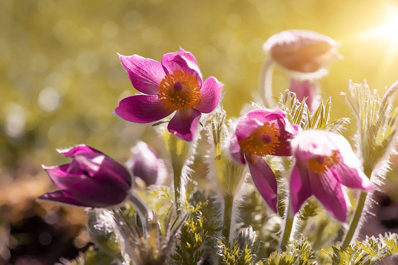 Картинки розовая цветок Прострел Рассветы и закаты Крупным планом розовых розовые Розовый Цветы рассвет и закат вблизи
