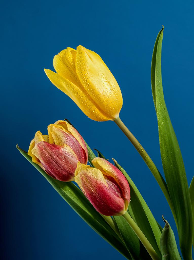 Обои для рабочего стола Тюльпаны капель цветок Трое 3 Крупным планом Цветной фон  для мобильного телефона тюльпан капля Капли Цветы капельки три втроем вблизи