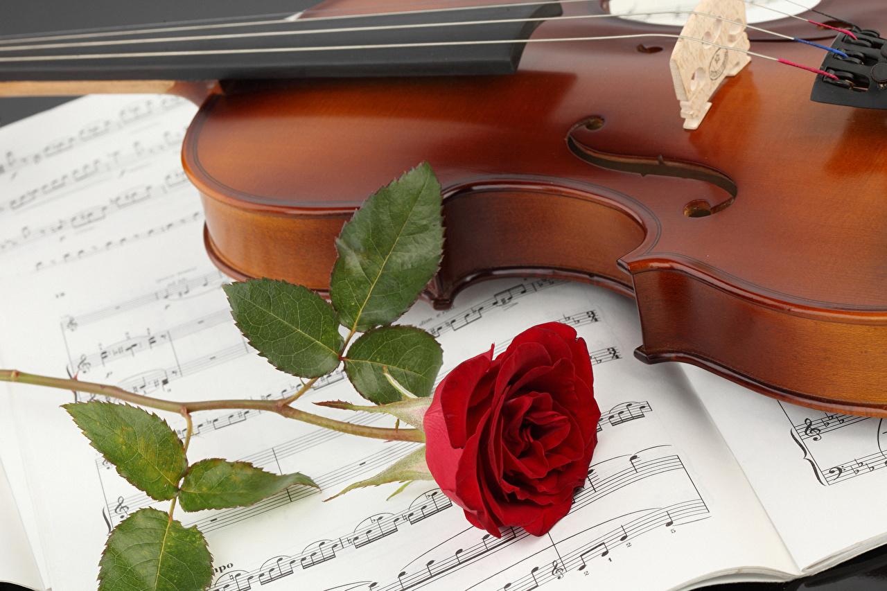Картинка Скрипки Ноты Розы красная цветок скрипка роза Красный красные красных Цветы