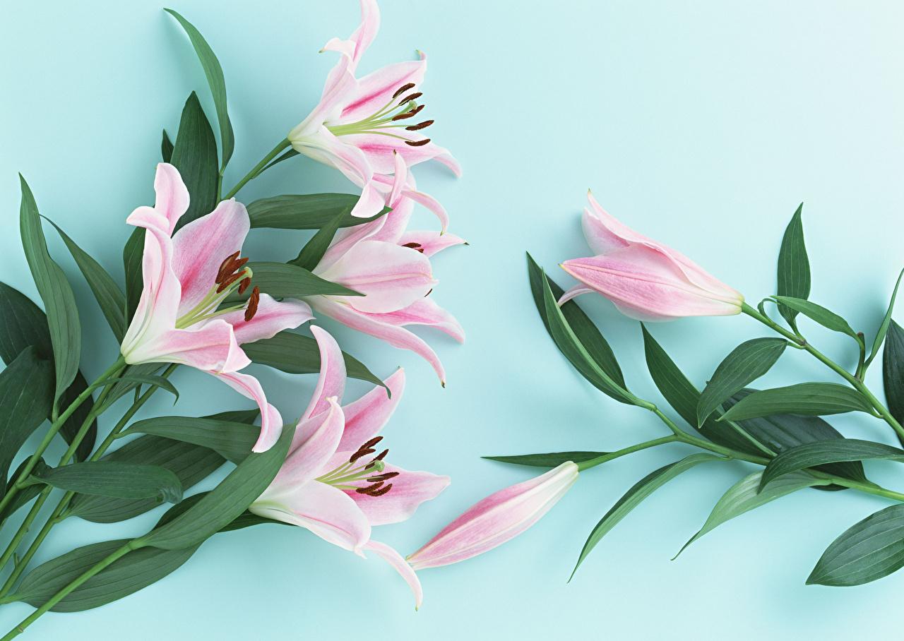 Фото Листва лилия Розовый цветок Цветной фон лист Листья Лилии розовых розовая розовые Цветы