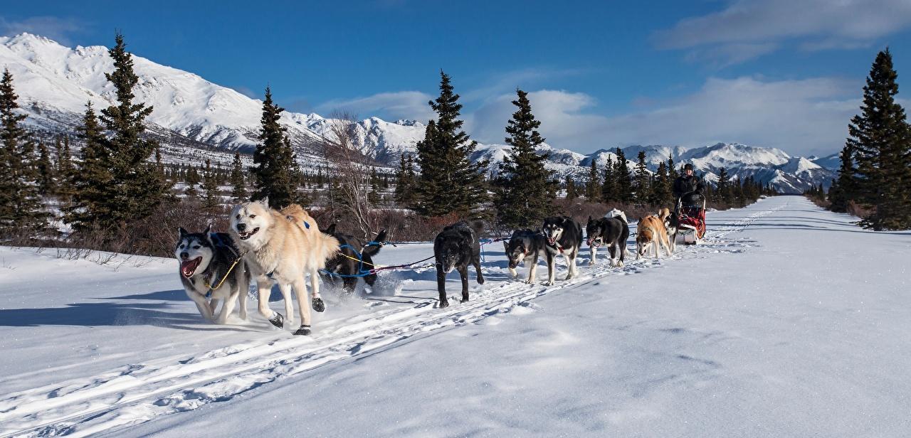 Обои Хаски Собаки Бег Сани Ель Горы Зима Тропа Снег Животные Санки зимние тропинка