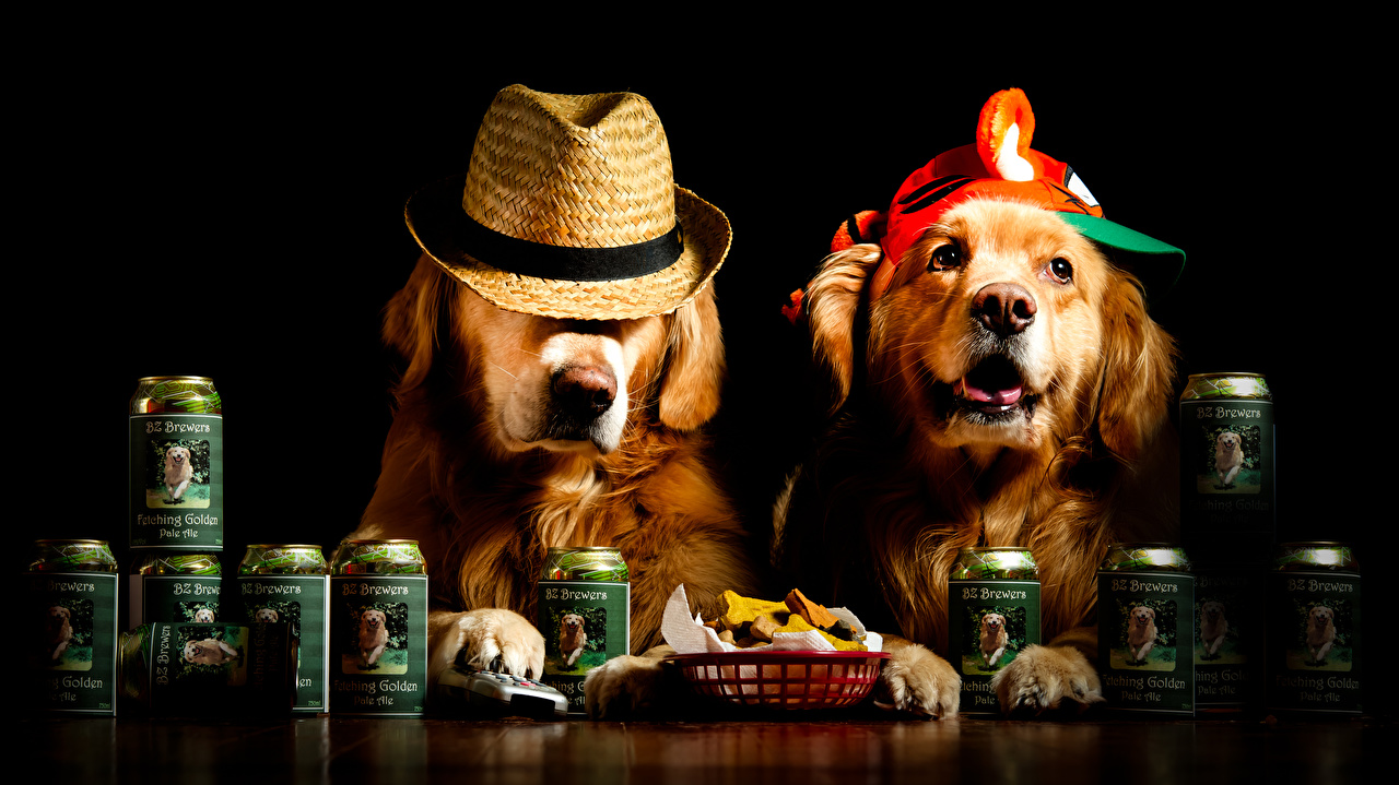 Обои для рабочего стола Ретривер собака забавные две шляпе Животные Черный фон ретривера Собаки Смешные смешная смешной 2 два Двое шляпы Шляпа вдвоем животное на черном фоне