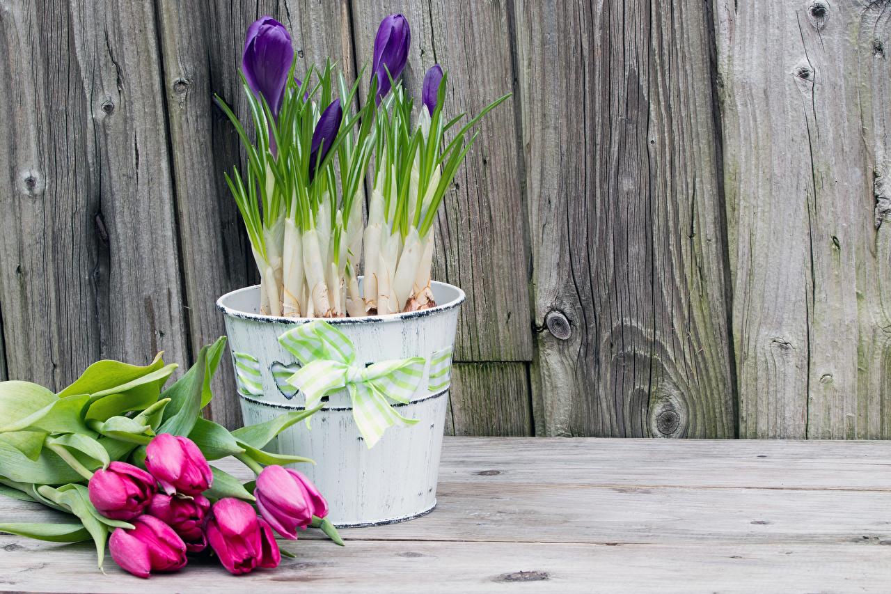 Картинки Розовый Тюльпаны Цветы Шафран Бантик Доски Крокусы