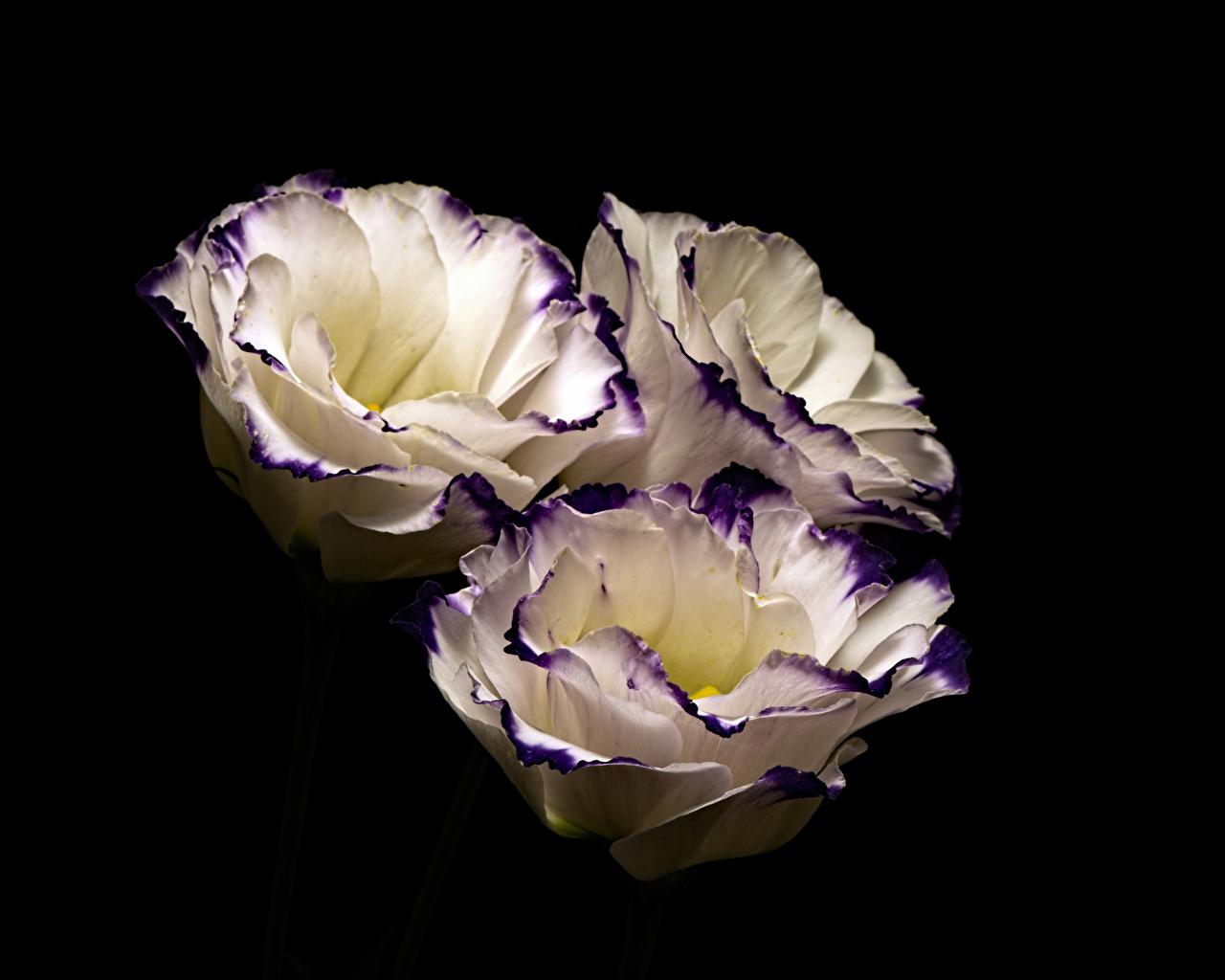 Фотография Цветы Лизантус Трое 3 на черном фоне цветок Эустома три втроем Черный фон