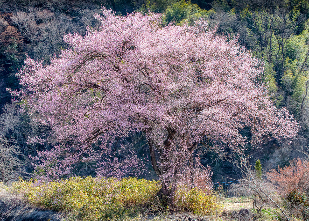 Фото сакуры Природа весенние Цветущие деревья Сакура Весна
