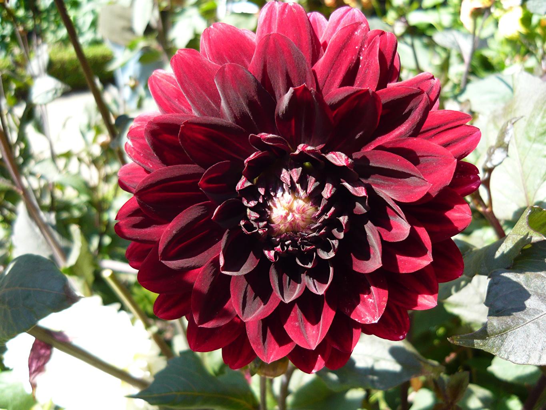 Фото Бордовый Цветы Георгины вблизи бордовая бордовые темно красный цветок Крупным планом